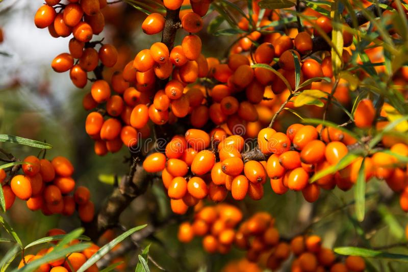 Hippophae rhamnoides also known as common sea buckthorn shrub. Hippophae rhamnoides known as common sea buckthorn shrub royalty free stock photos