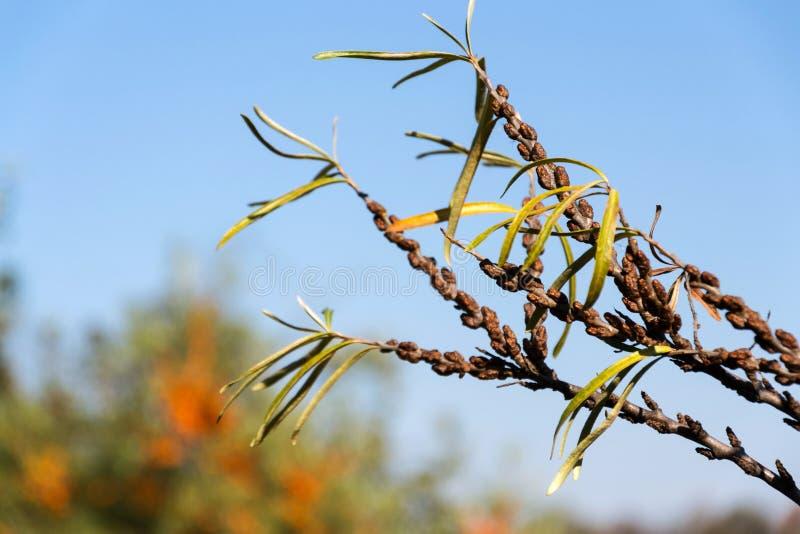 Hippophae rhamnoides samiec rośliien szczegół z żeńskim owocowym jagody tłem, pospolity dennego buckthorn krzak zdjęcie stock