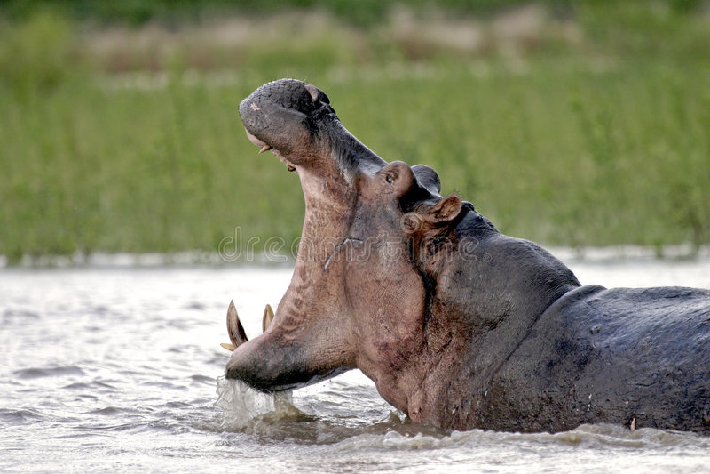 Hippopotame 11 dans le fleuve de Rufiji photographie stock