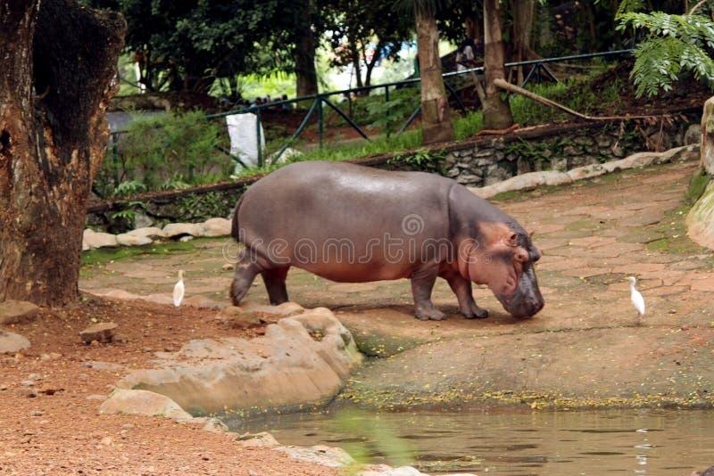 Hippopotame asiatique dans Park-1 zoologique indien image stock