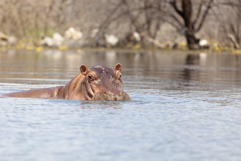 Hippopotame au lac Baringo, Kenya images stock