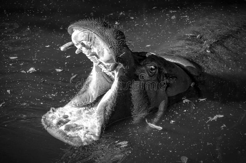 Hippopotame dans l'eau images libres de droits