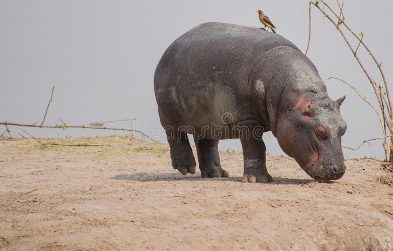 Hippopotame dans la savane au Zimbabwe, Afrique du Sud photographie stock libre de droits