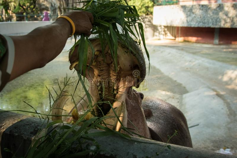 Hippopotame dans le zoo photographie stock libre de droits