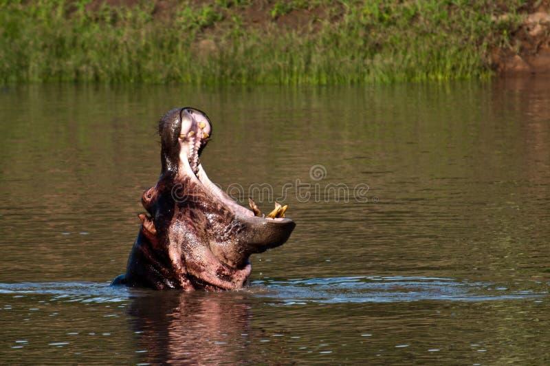 Hippopotame de baîllement photos stock