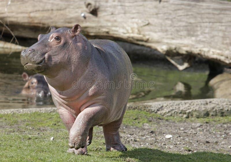 hippopotame de chéri images stock