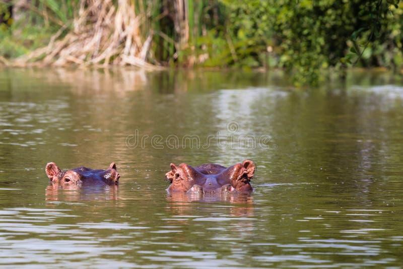 Hippopotame de lac Baringo Le Kenya, Afrique photographie stock