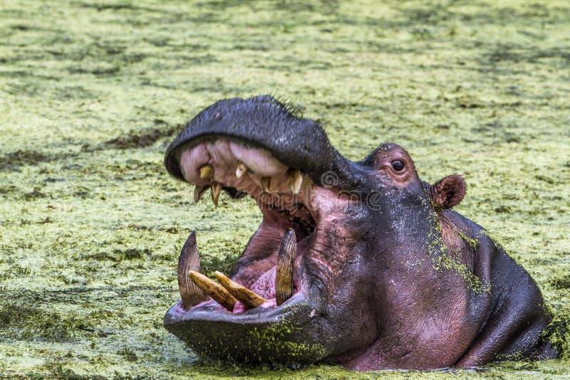 Hippopotame en parc national de Kruger, Afrique du Sud image stock