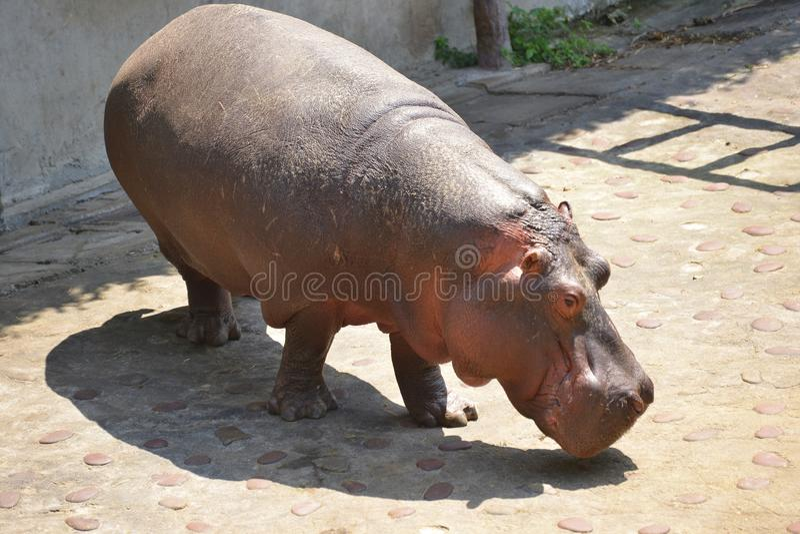 Hippopotame ou hippopotame photographie stock