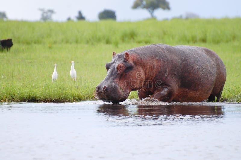 Hippopotame - parc national de Chobe - le Botswana photographie stock