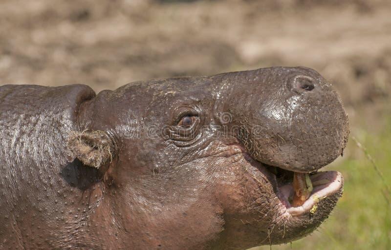 Hippopotame pygméen images stock