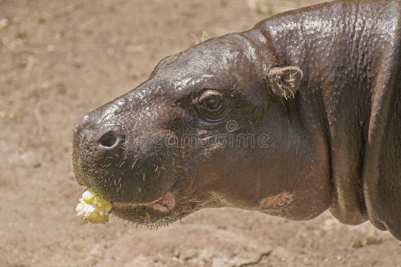 Hippopotame pygméen photos stock