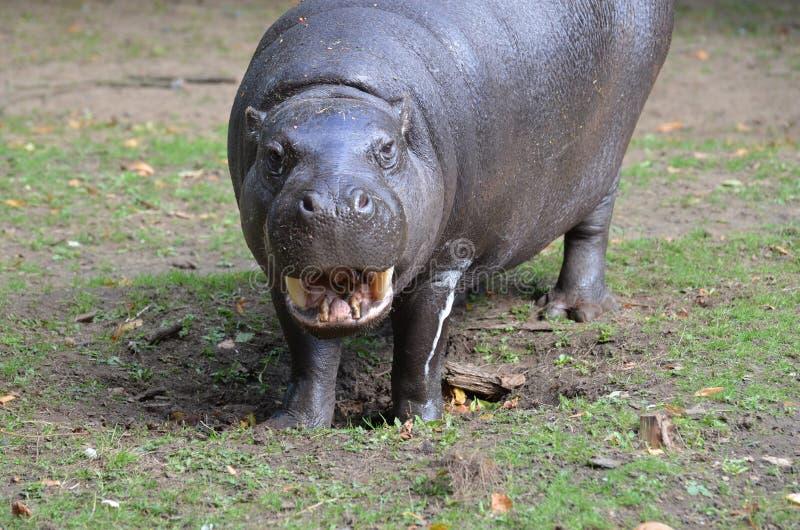 Hippopotame pygméen prêt pour l'examen dentaire photos stock