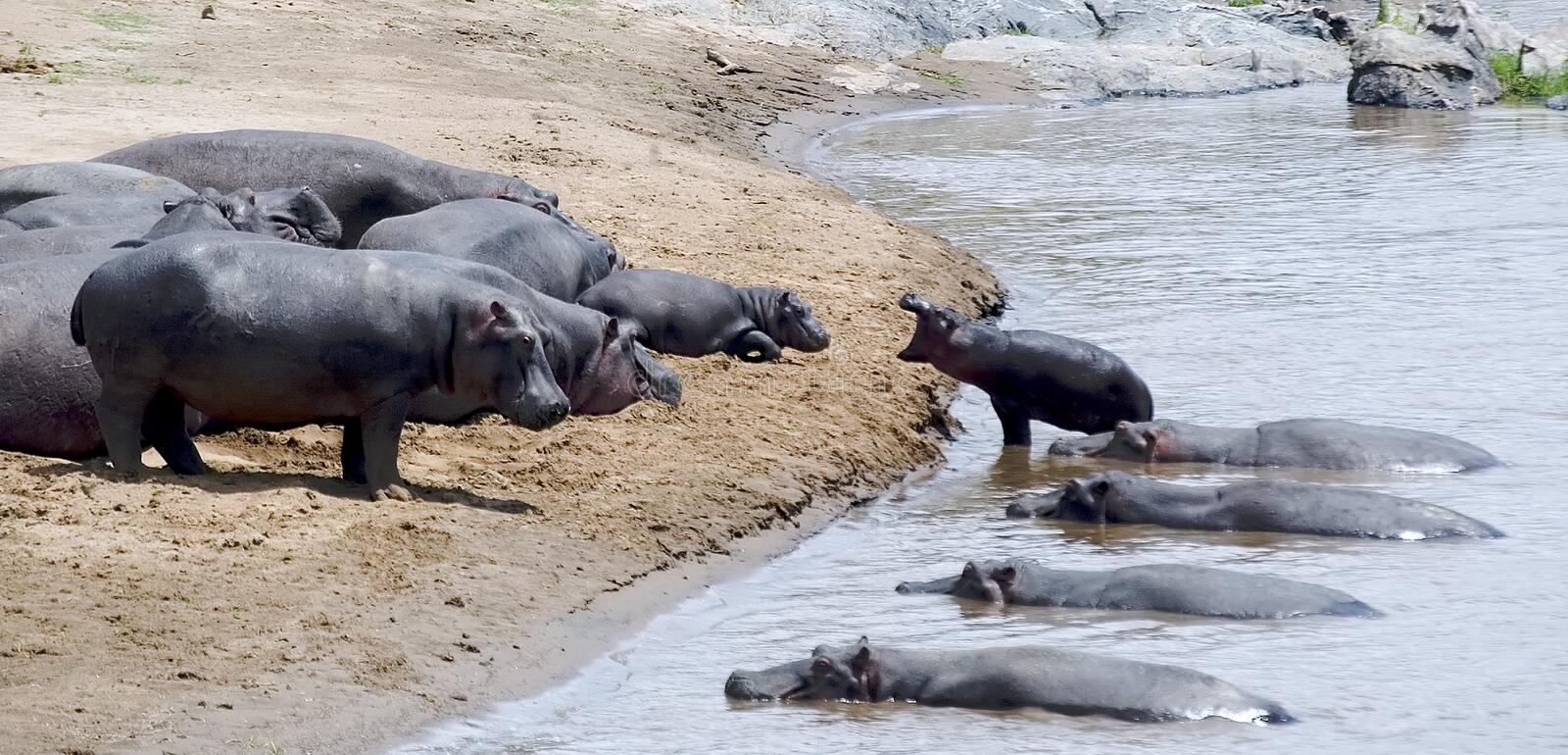 Hippopotames images stock