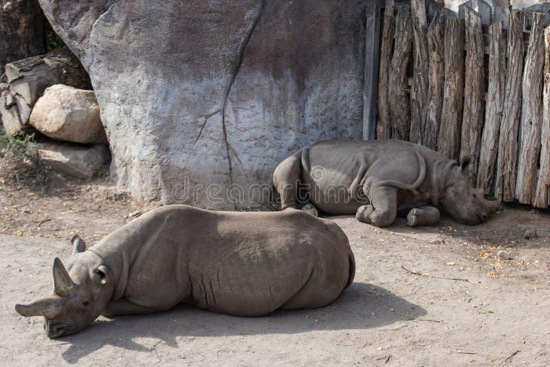 Hippopotames dans le zoo images stock