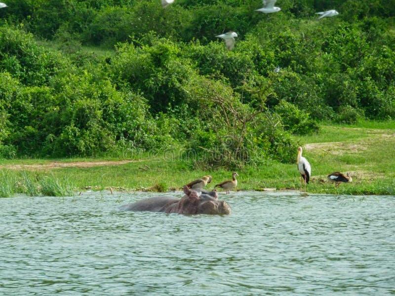 hippopotames dans un étang sur une surface photographie stock libre de droits