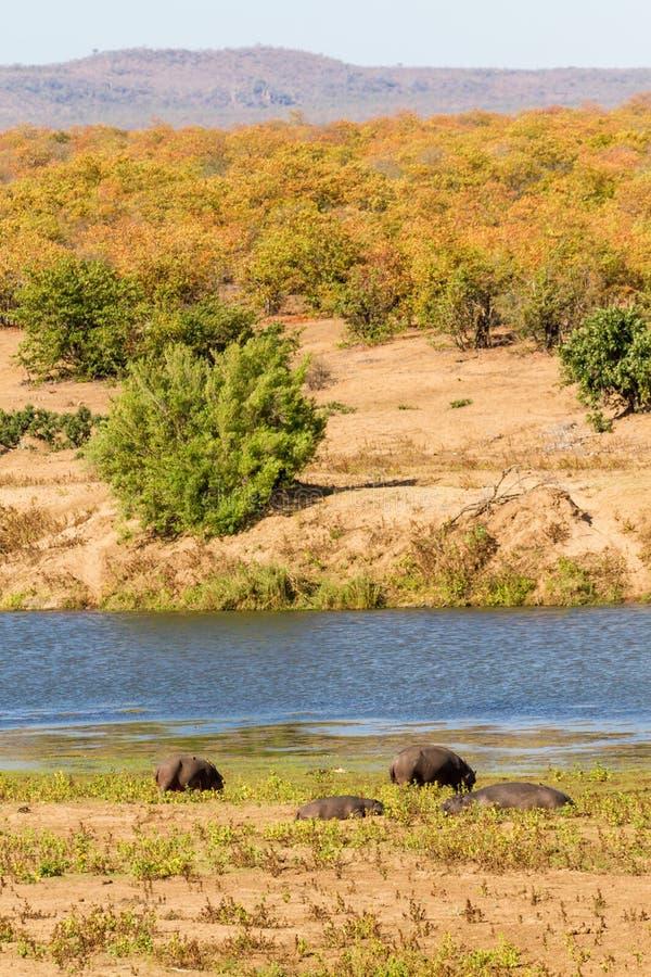 Hippopotames de saison sèche image stock