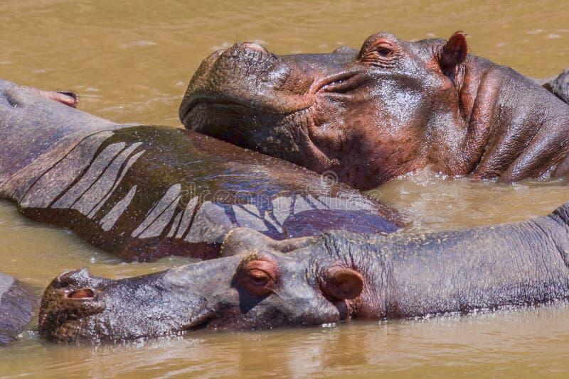 Hippopotames drôles photographie stock