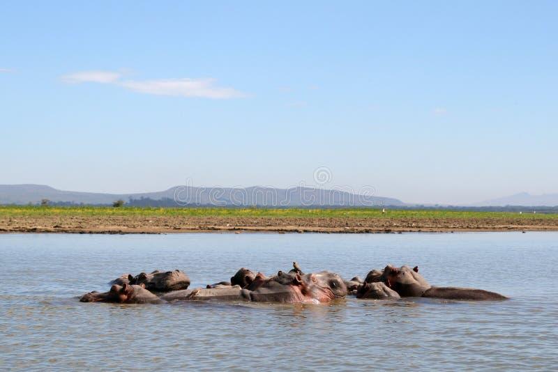 Hippopotames en rivière photographie stock
