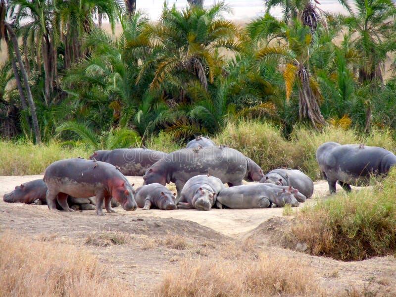 Hippopotames s'étendant au sol photo libre de droits
