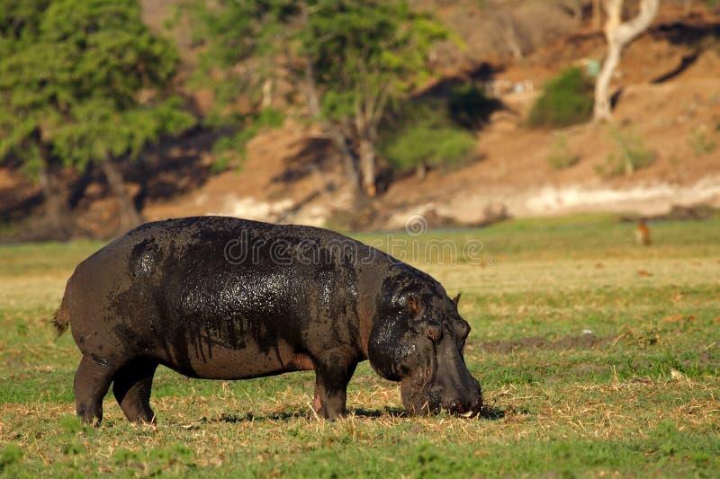 hippopotamus βοσκής στοκ φωτογραφίες με δικαίωμα ελεύθερης χρήσης