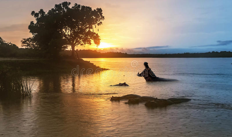 Hippopotamus στον ποταμό του Νείλου στην ανατολή στην πτώση Murchison στοκ φωτογραφία