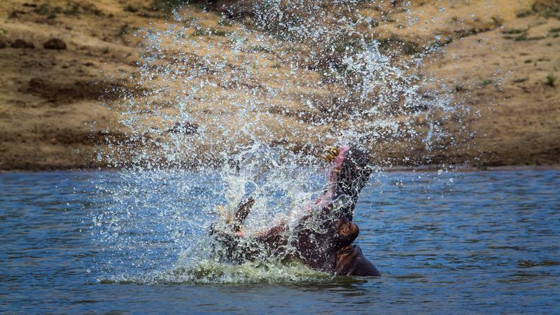 Hippopotamus στο εθνικό πάρκο Kruger, Νότια Αφρική στοκ φωτογραφία