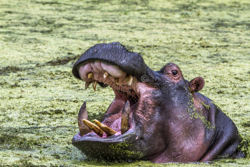 Hippopotamus στο εθνικό πάρκο Kruger, Νότια Αφρική στοκ εικόνα