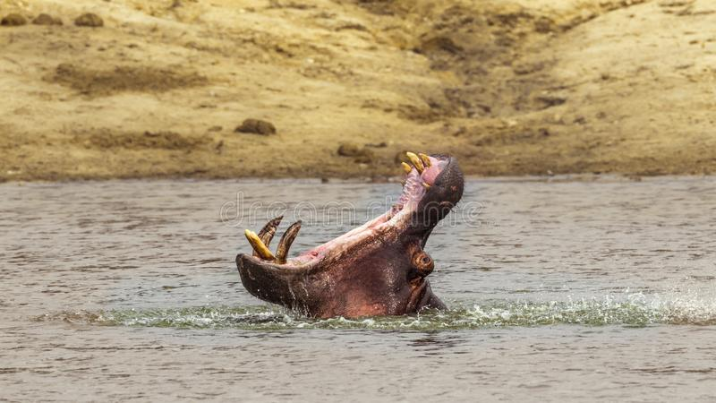 Hippopotamus στο εθνικό πάρκο Kruger, Νότια Αφρική στοκ εικόνα με δικαίωμα ελεύθερης χρήσης