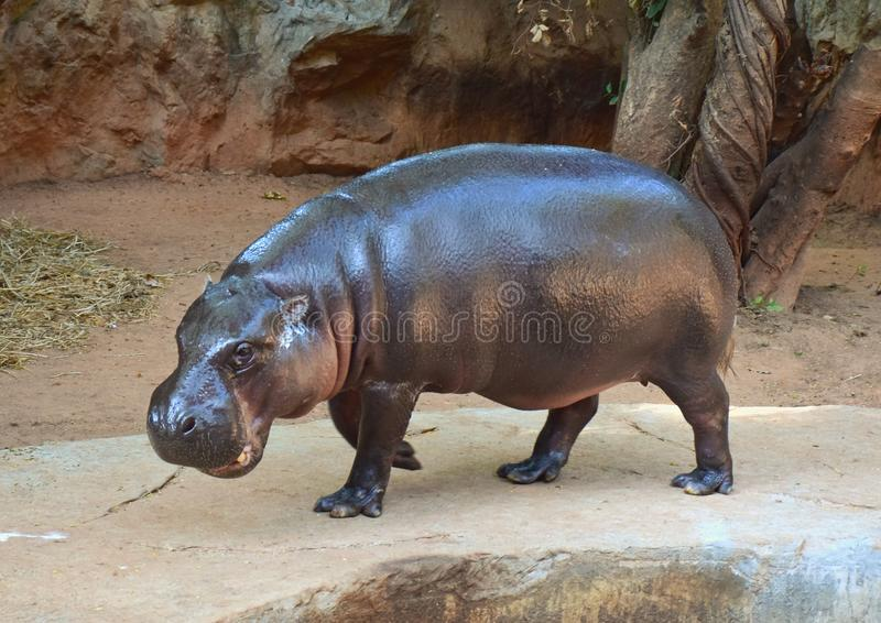 Hippopotamus στο ζωολογικό κήπο στοκ εικόνες