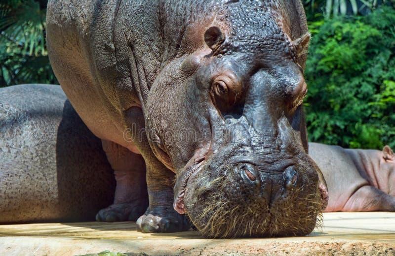 Hippopotamus images libres de droits