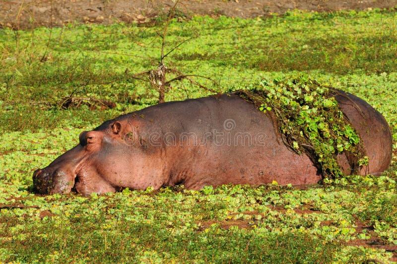 Hippopotamus image libre de droits