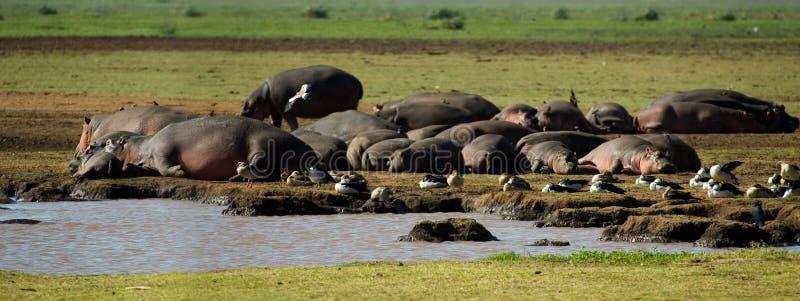 Hippopotamus lizenzfreie stockfotos