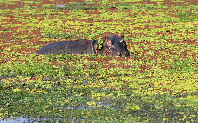 Hippopotamus fotos de stock royalty free