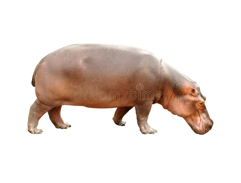 Hippopotamus. One hippopotamus on white background stock photos