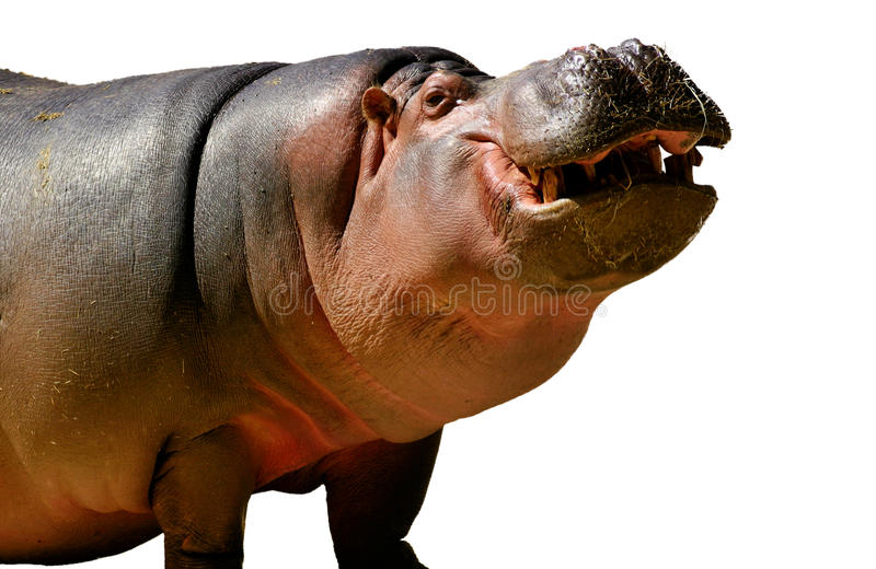 Hippopotamus. Cut out on white stock photography
