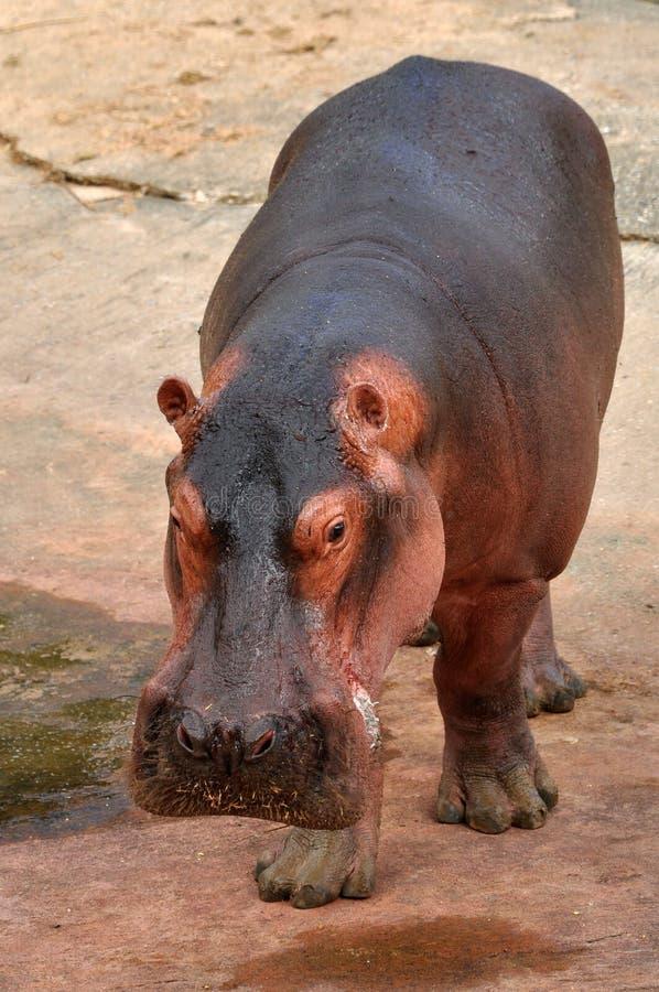 hippopotamus στοκ φωτογραφία