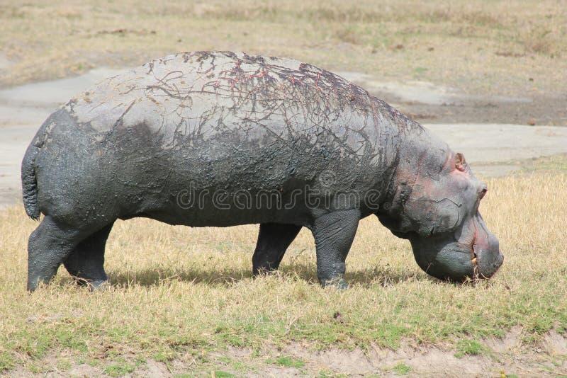 Hippopotamus photo stock
