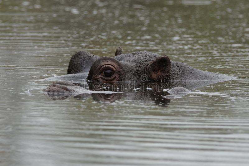 Hippopotamus. The hippo or river horse is a very large mammal, which you can find in africa stock images