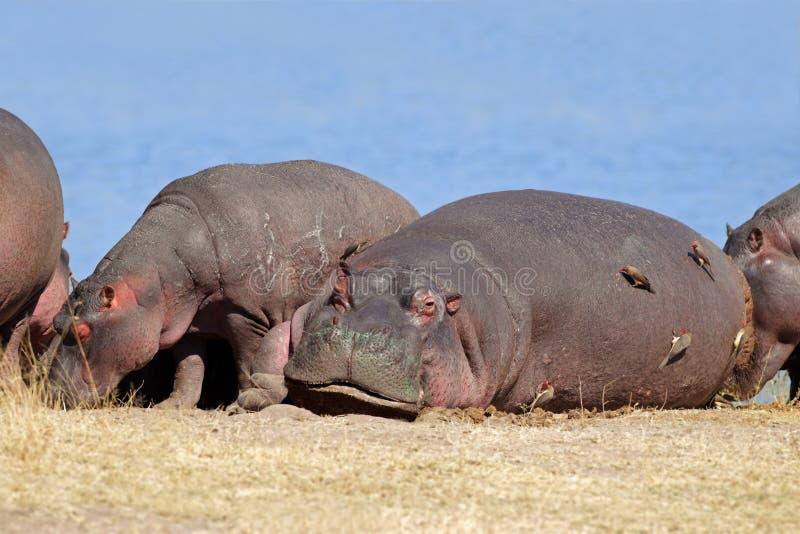 Hippopotamus imagem de stock royalty free