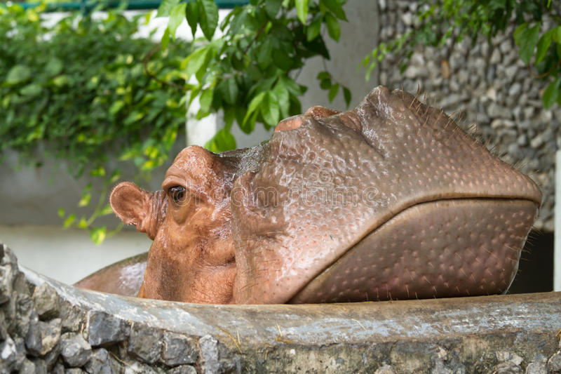 Hippopotamus. In a zoo in Thailand royalty free stock photo