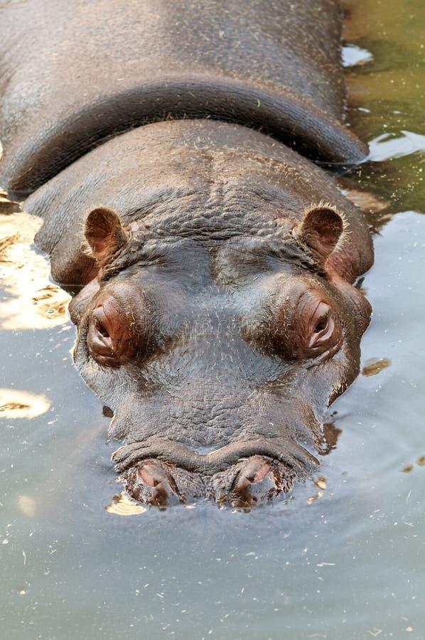 Download Hippopotamus stock image. Image of closeup, wildlife - 27911589
