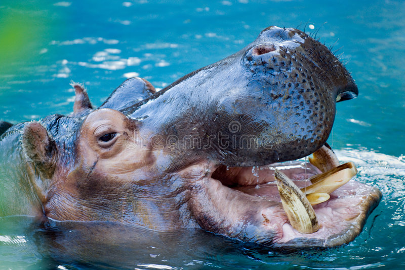Hippopotamus. Showing his teeth.During the day they remain cool by staying in the water or mud stock images