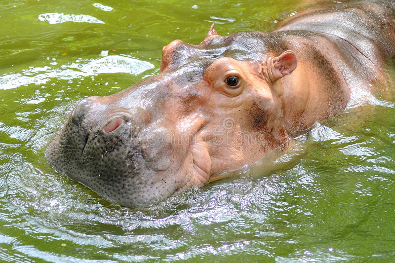 Hippopotamus fotografie stock