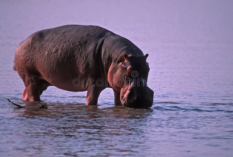 Hippopotamus lizenzfreie stockfotografie
