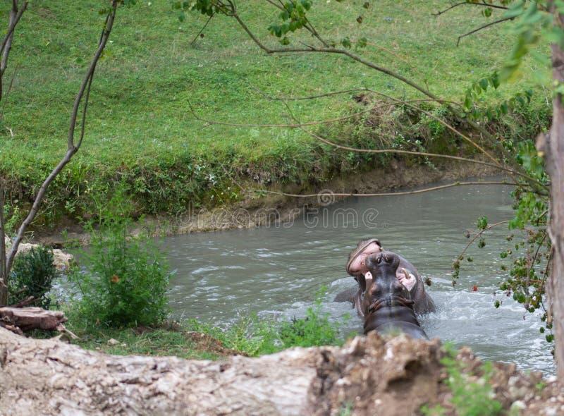 Hippopotamus stockfotos
