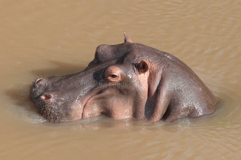 Hippopotamus fotografie stock libere da diritti