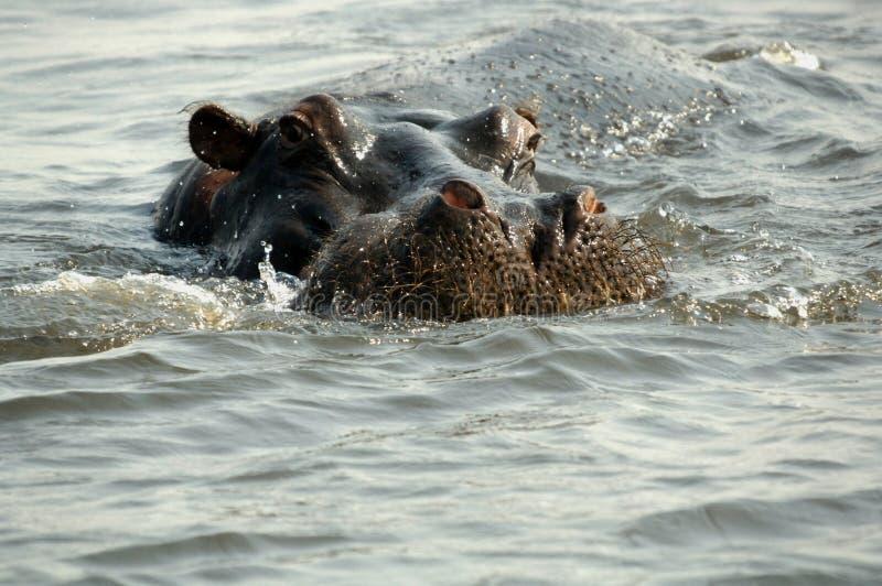hippopotamus стоковые фотографии rf