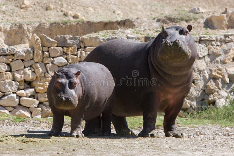 Hippopotamus adulte et jeune image stock