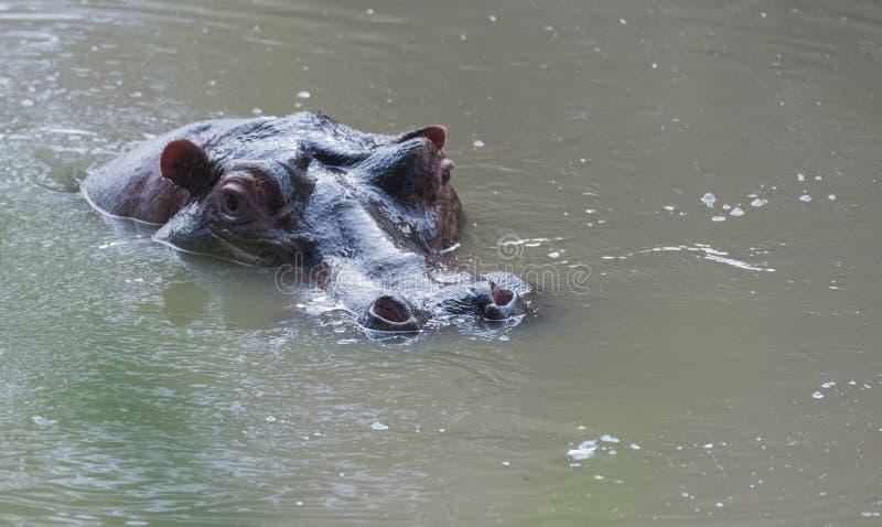 Hippopotamus, amphibius Hippopotamus, κεφάλι ακριβώς ανωτέρω - νερό, στοκ φωτογραφίες